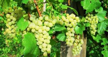 spergola-uva